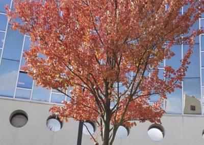 Arbre rouge d'automne, Sabine